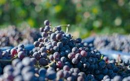 Blåa vinrankadruvor i den skörda tiden Druvor för framställning av vin arkivfoton