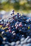 Blåa vinrankadruvor i den skörda tiden Druvor för framställning av vin arkivbild