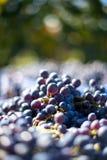Blåa vinrankadruvor i den skörda tiden Druvor för framställning av vin royaltyfria foton