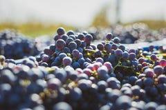 Blåa vinrankadruvor i den skörda tiden Druvor för framställning av vin arkivbilder