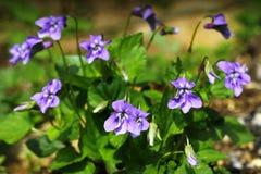 Blåa violets Fotografering för Bildbyråer