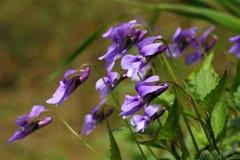 Blåa violets Arkivfoto