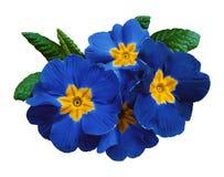 Blåa violets blommar, vit isolerad bakgrund med den snabba banan closeup Inget skuggar För design royaltyfri foto