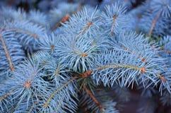 Blåa visare av en julgran i en botanisk trädgård Royaltyfri Bild