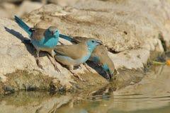Blåa Waxbill - lös fågelbakgrund från Afrika - poserar av blått Royaltyfri Fotografi