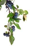 blåbär Royaltyfria Foton