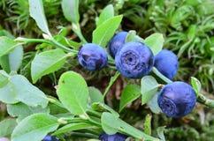 Blåbär Arkivfoto