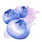 Blåbär för flygillustration för näbb dekorativ bild dess paper stycksvalavattenfärg Fotografering för Bildbyråer