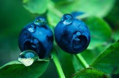 Blåbär i skogen Arkivfoton