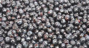 Blåbär kallat blåbär, blåbär eller européblåbär med svart färg Forest Blueberry texturerade bakgrund royaltyfri foto