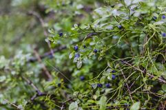Blåbär på buskar Arkivfoton