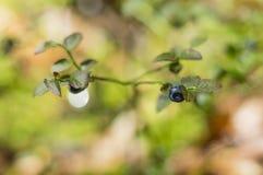 Blåbär på buskar Fotografering för Bildbyråer