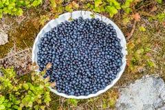 Blåbär på en platta utomhus i buskig vegetation royaltyfri bild
