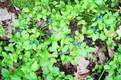 blåbär planterar i skogen Royaltyfri Foto