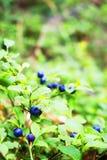 blåbär planterar i skogen Royaltyfria Foton