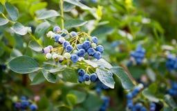 Blåbär som mognar på busken Buske av blåbär Fotografering för Bildbyråer