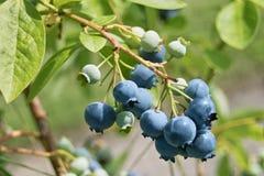 blåbär som ripening Royaltyfri Bild