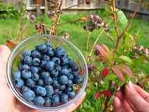 blåbär som väljer kvinnan Royaltyfria Bilder