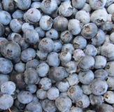blåbär som väljs nytt Royaltyfria Foton