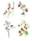 Blåbär tranbär, jordgubbevattenfärgillustration Royaltyfri Fotografi