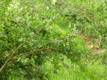 Blåbärbär mognar i fältet i NYS royaltyfri foto