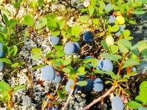 Blåbärbär på en buske arkivfoto