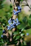 Blåbärblåbärbuske Arkivfoto