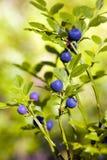 blåbärbuske Arkivfoto