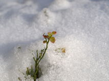 Blåbärbuske Royaltyfria Foton