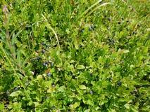 Blåbärbuske i ljuset av solen Royaltyfri Bild