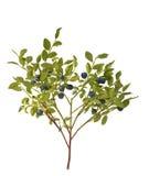 Blåbärbuske med bär Royaltyfri Foto