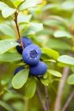 blåbärbuskeclose upp Royaltyfria Bilder