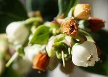 Blåbäret blommar i olika etapper Royaltyfri Fotografi