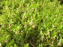 Blåbäret blommar på en buske Royaltyfria Foton