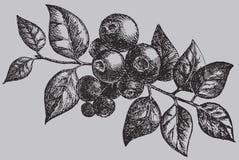 Blåbäret på filialen med bladet Teckning för bärtappningvektor Royaltyfria Bilder