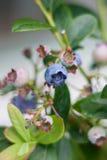 Blåbärfruktbuske Fotografering för Bildbyråer