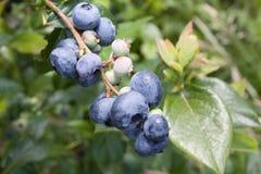 blåbärfrunch Royaltyfri Foto