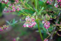 Blåbärknoppar och blommor på en buske arkivfoto