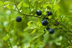 Blåbärkvist i skog i sommar Royaltyfria Bilder