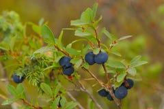 blåbärmyr royaltyfri foto