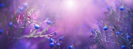 Blåbärnaturbakgrund Saftigt och nytt wildberry Arkivfoto