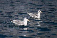 Blågrön fiskmås i Homer Alaska Royaltyfri Fotografi