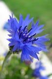 blåklint Royaltyfri Bild