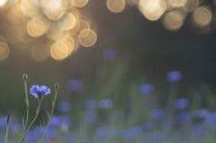 blåklint Arkivfoton