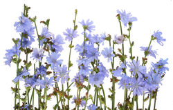 blåklint field wild Royaltyfria Foton