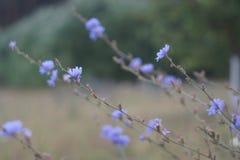 Blåklint härlig natur, grön blå suddighetsmakro royaltyfri fotografi