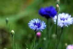 Blåklint sommar för sally för blomma blomma för dagfältfireweed lantlig Royaltyfria Foton