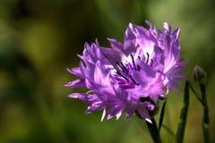 Blåklint sommar för sally för blomma blomma för dagfältfireweed lantlig Arkivbild
