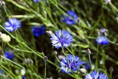 Blåklint sommar weed Royaltyfria Bilder