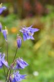 blåklocka arkivfoton